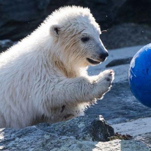VIDEO / Hertha, numele dai puiul de urs care este noul star al Grădinii Zoologice din Berlin