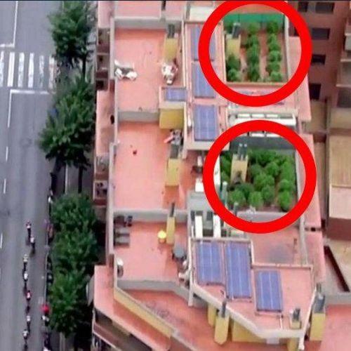 VIDEO Inedit / O plantație de cannabis, descoperită cu ajutorul elicopterului care transmitea La Vuelta